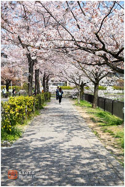 琵琶湖疎水 桜