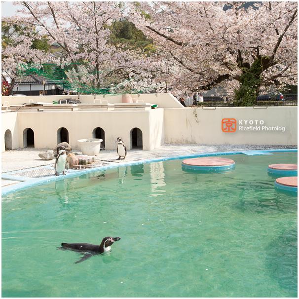 京都市動物園 桜